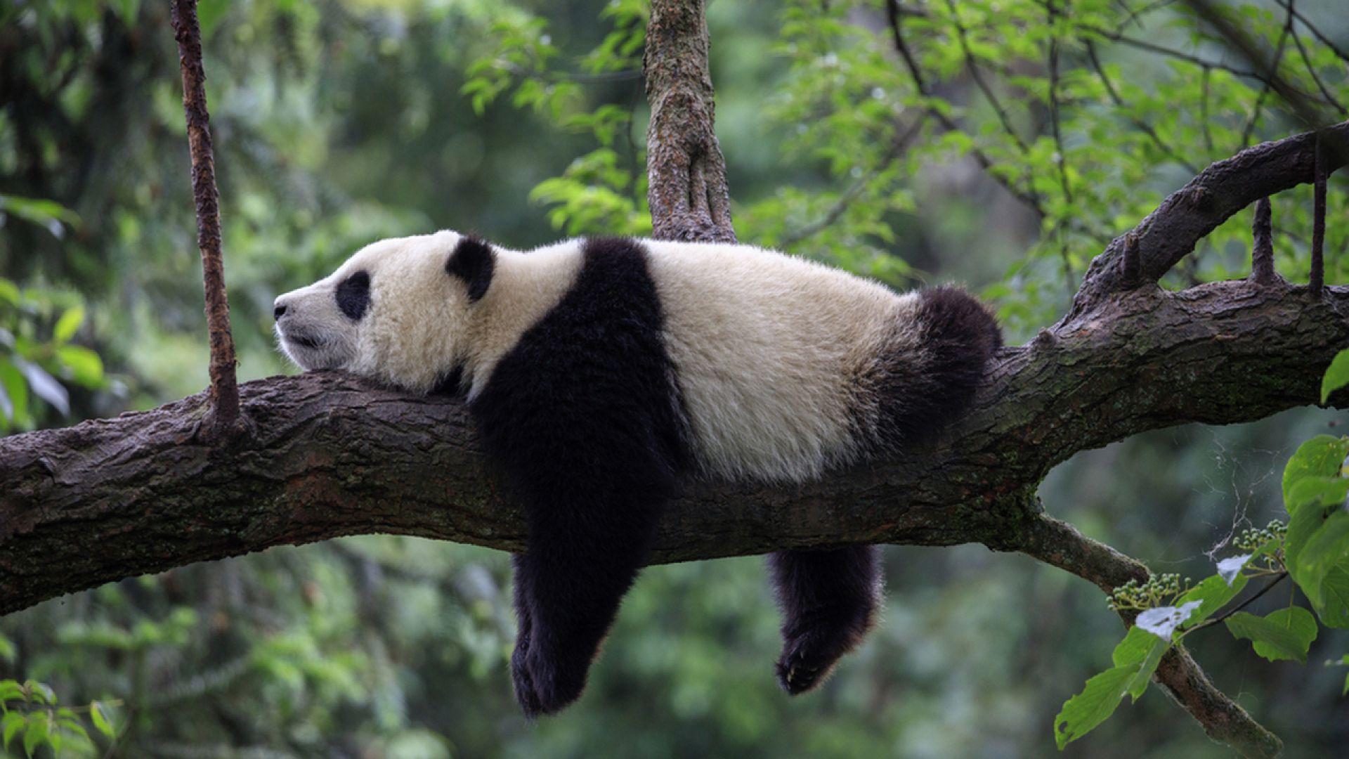 Панда спит картинки