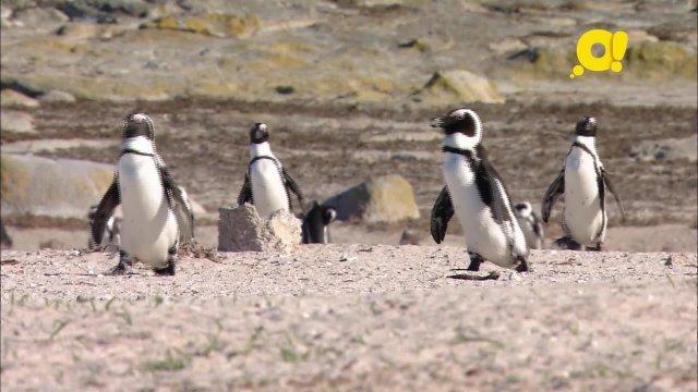 Малыши дикой природы. 6 серия. Пингвинёнок