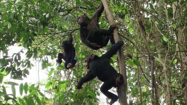 Малыши дикой природы. Шимпанзе